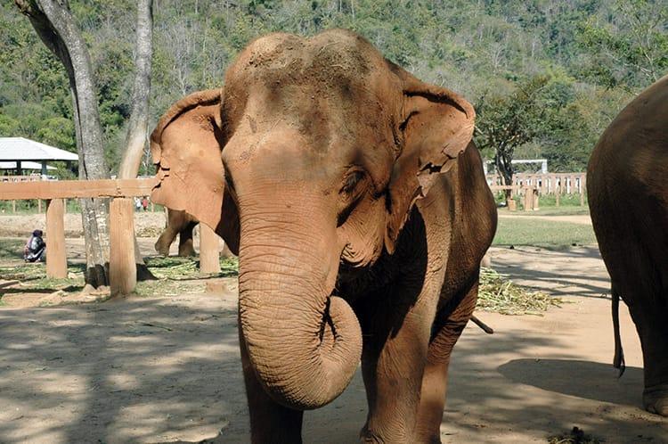 A young elephant wiggles its ears as I take a photo