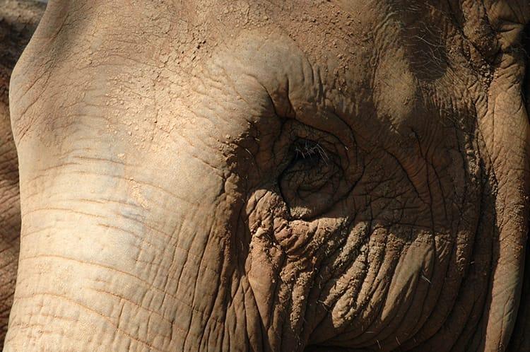A closeup of an elephants soulful eyes
