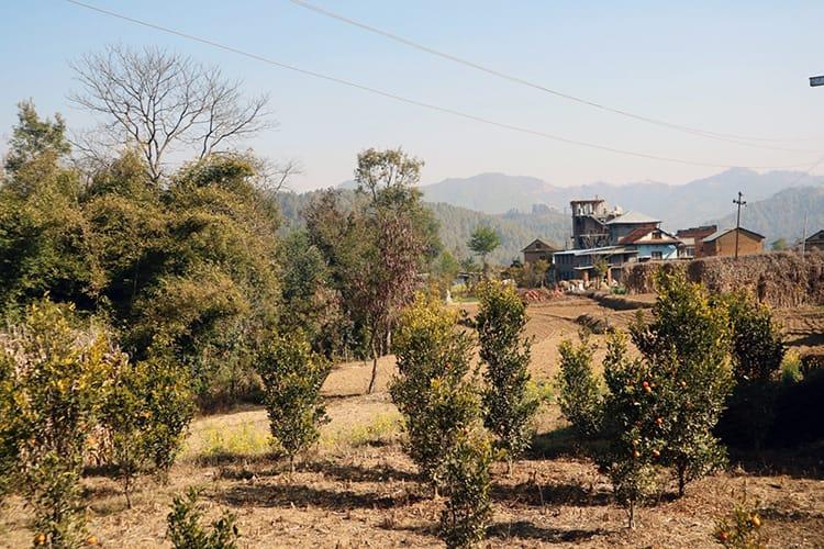 Orange trees on a farm on the Kathmandu Valley Trek