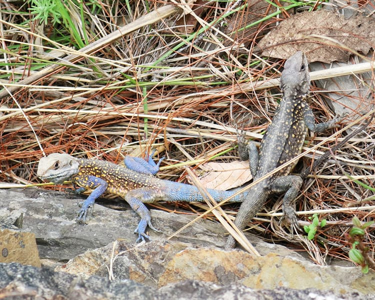 Two small lizards along the hiking route