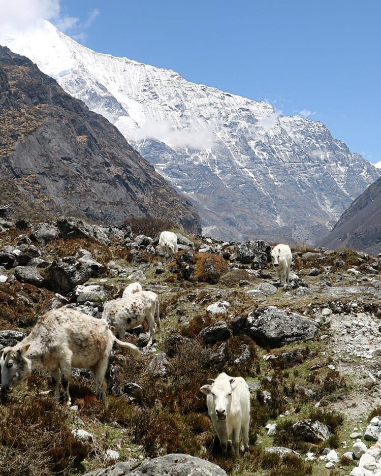 A herd of white cows blend in with rocks in Rolwaling Valley