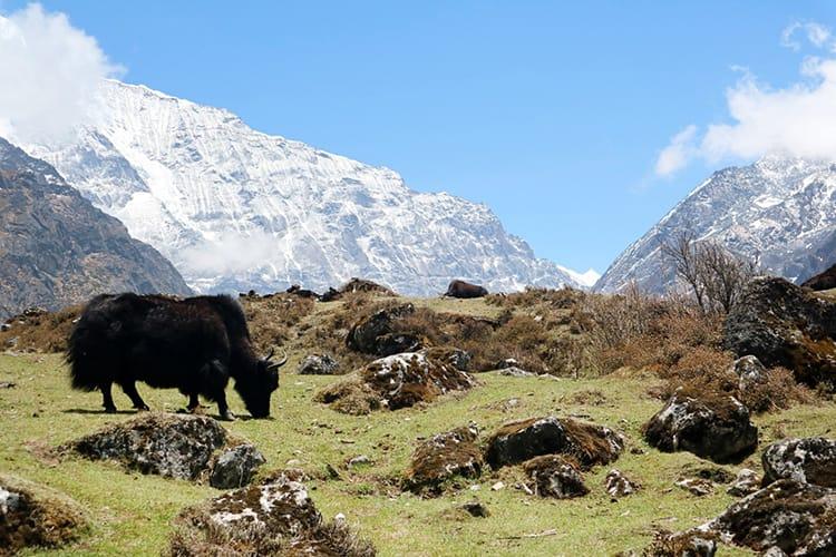 A yak in Nepal grazes in a field with the Himalaya as it's backdrop