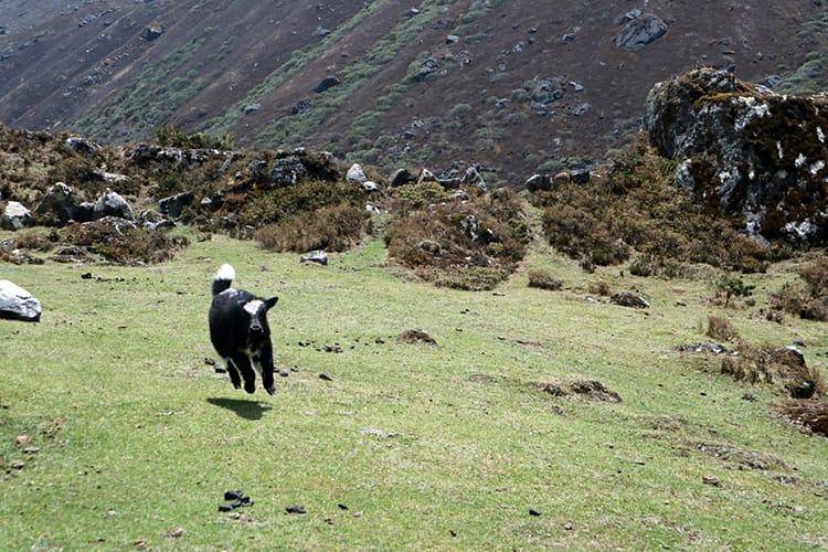 A baby yak runs through a field in Nepal