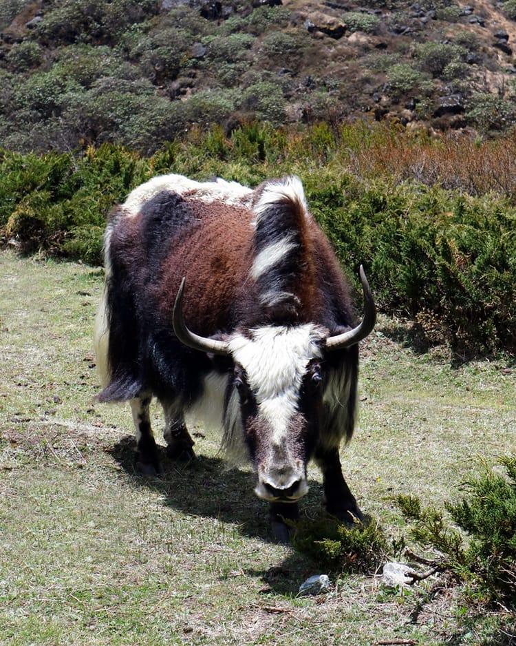 A yak grazing up close