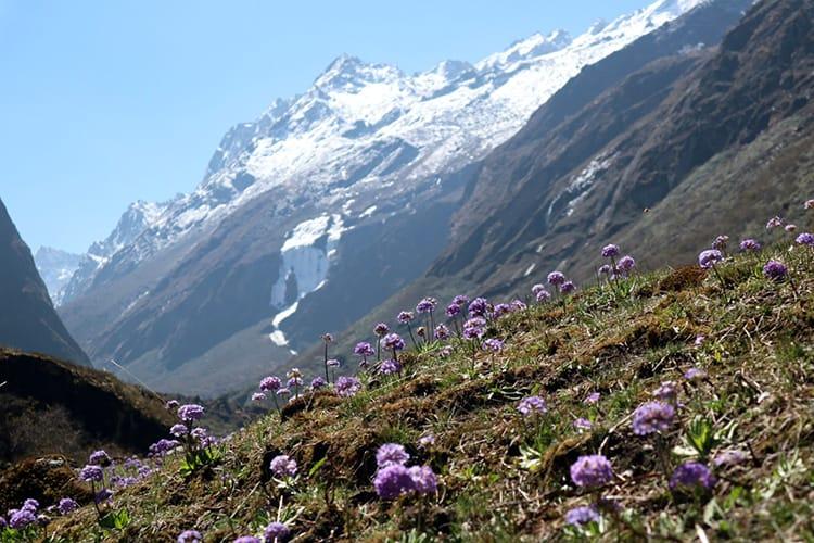 Tiny purple flowers grow above 4,000m on the way to Tsho Rolpa near Beding