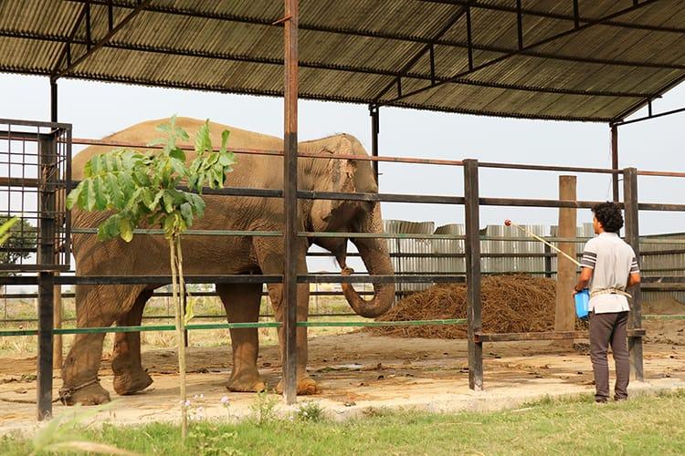 Eva the elephant in her pen in Chitwan