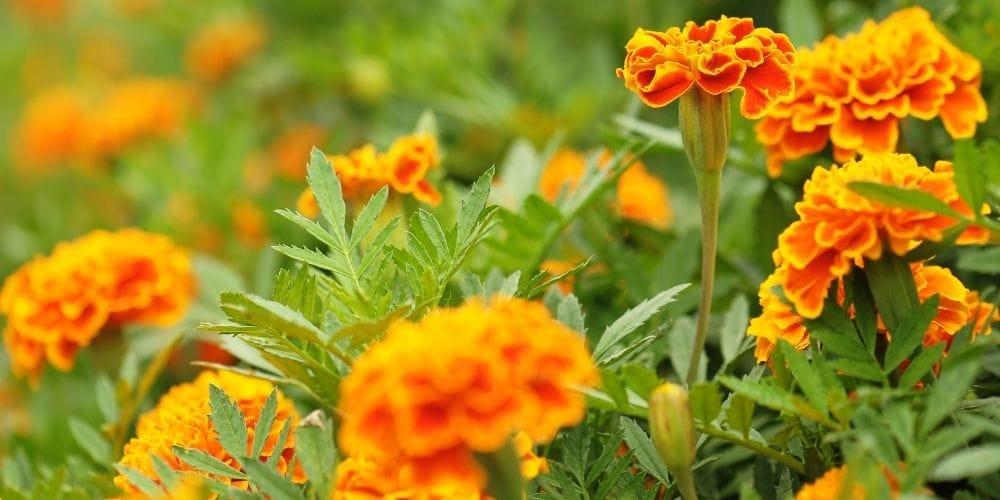 Marigolds in Godawari Botanical Garden