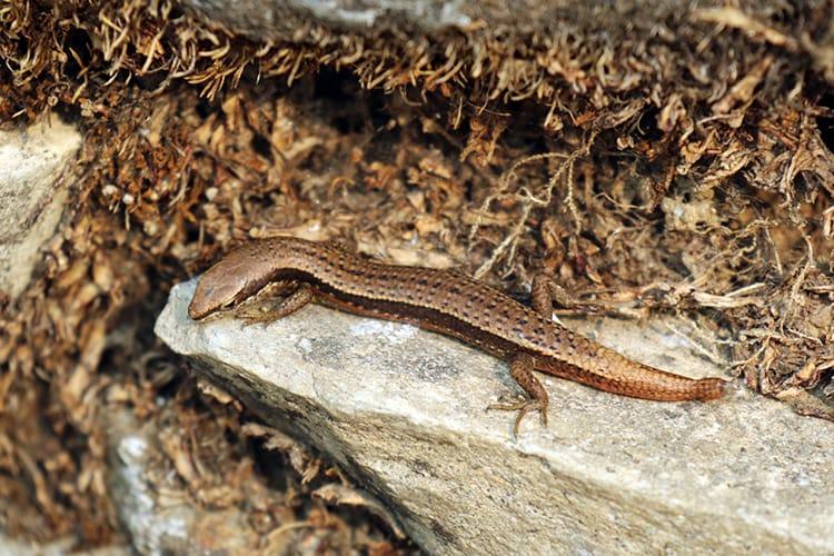 A small lizard along the trekking route